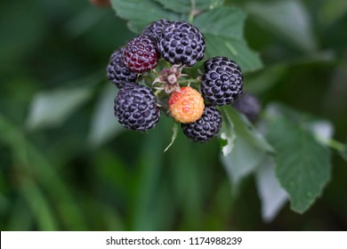 Black raspberry on bunch in the garden