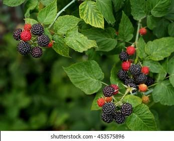 Black raspberry on bunch in the garden