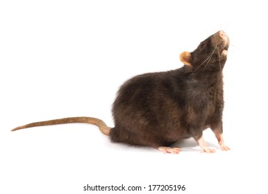 black rat  isolated on the white background