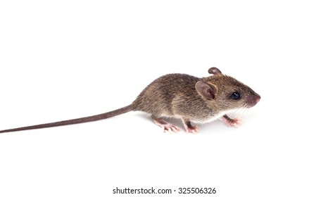 black rat isolated on white