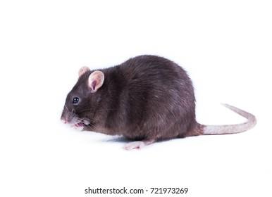 black rat on a white background