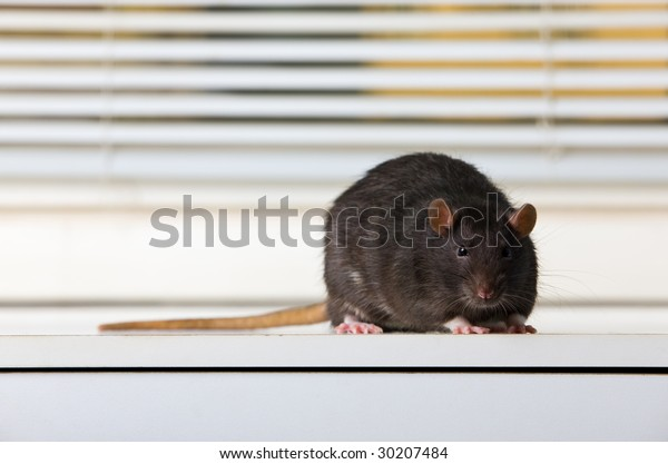 Black rat on a white table