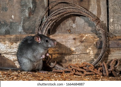 Black rat (Rattus rattus) foraging in old barn / shed / stable