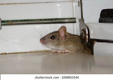 Black rat (Rattus rattus). Pajonales. Integral Natural Reserve of Inagua. Tejeda. Gran Canaria. Canary Islands. Spain.