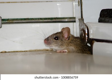 Black rat (Rattus rattus). Pajonales. Integral Natural Reserve of Inagua. Tejeda. Gran Canaria. Canary Islands. Spain.