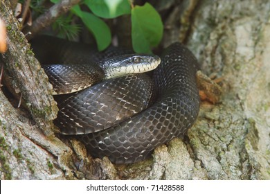 Black Rat Snake (Elaphe obsoleta) curled up in a tree