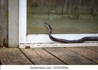 Black rat snake looking in sliding glass door on back porch in North Carolina in spring. Snake season is beginning. Practice pet safety