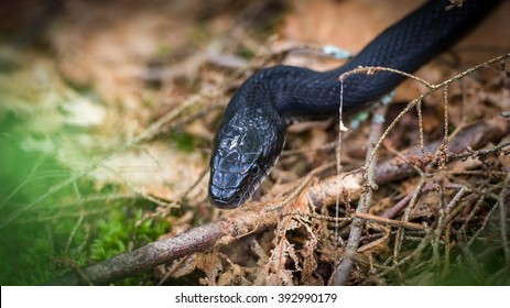 Black rat snake on forest floor