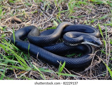 Black Rat Snake, Pantherophis obsoleta