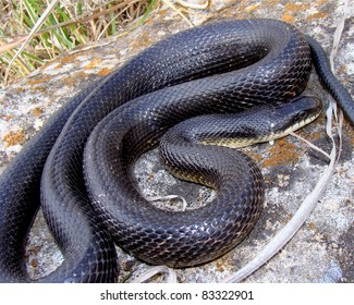 Black Rat Snake, Pantherophis obsoleta, basking on rock
