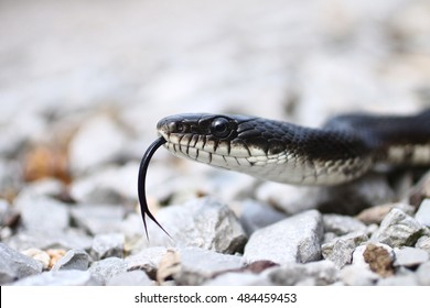 Black rat snake with tongue