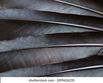 Black raven feathers close up