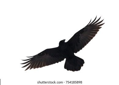 Black raven in flight on a white background. Isolated