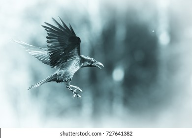 Black raven flying in moonlight. Scary, creepy, gothic setting. Cloudy night. Halloween