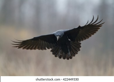 Black raven flying. Scary, creepy, gothic setting. Halloween