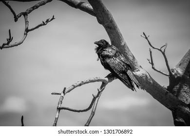 Black raven sitting in Adansonia digitata alias Baobab tree without leafs in black white