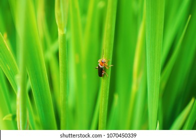 Black with red beetle on the grass
