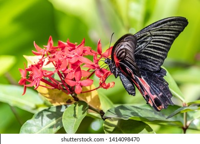 Black and Red Butterfly on Red Flowers - Butterfly and Insect Kingdom in Singapore