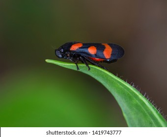black red frog hopper on green leaf isolated cercopis vulnerata