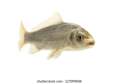 Black and Red goldfish isolated on white background.