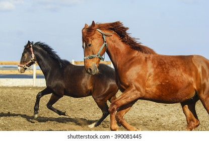 black and red horses running on the sand in a paddock near the wooden fence