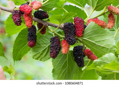 Black and red mulberries on the branch of tree.Fresh mulberry.