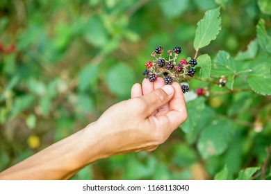 Black and red wild raspberries. Black raspberries (Rubus occidentalis) ripening in forest.  concept of harvesting fruit berries.