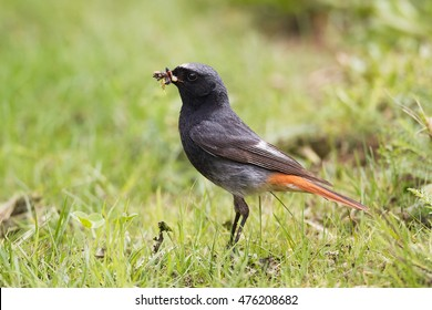 Black Redstart