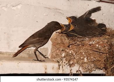 Black Redstart feeding their young. Phoenicurus ochruros.
