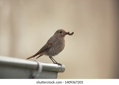 Black redstart female near nest