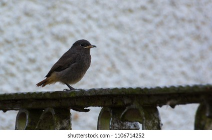 A black redstart fledgling with an insect.