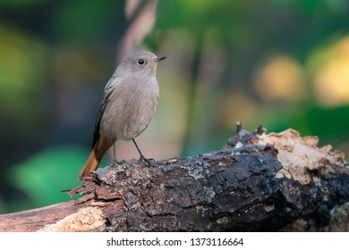 The black redstart (Phoenicurus ochruros) is a small passerine bird in the redstart genus Phoenicurus.