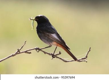 black redstart taking food to the nest with caterpillar in beak