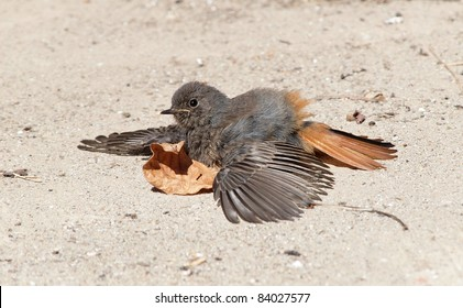 A Black Redstart taking a Sun Bath
