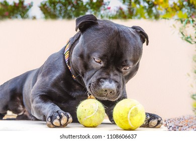 black relaxed Staffordshire bull terrier dog lying down outside looking at two tennis balls trying decide which to select.