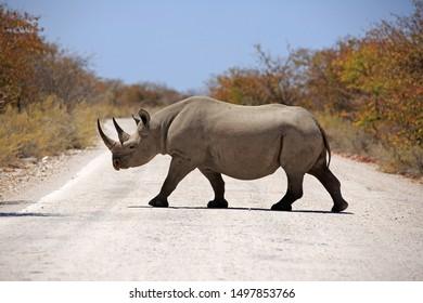 Black Rhino in Africa, closeup