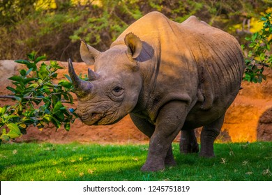 Black rhino in Africa walking on green grass