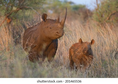 Black rhino and baby
