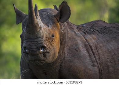 Black Rhino in the bush of Kruger National Park.