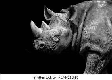 Black Rhino at Chester Zoo