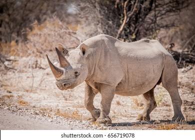 Black rhino crossing the road, Etosha National Park, Namibia