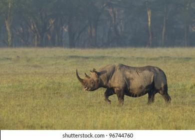 Black Rhino (Diceros bicornis) at Lake Nakuru, Kenya