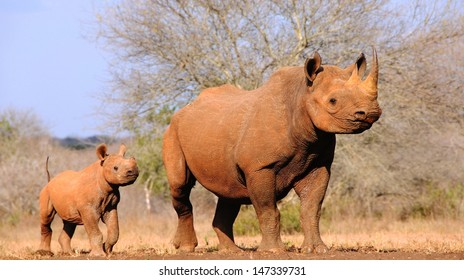 Black rhino (Diceros bicornis michaeli) with calf.