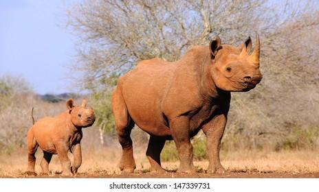 Black rhino (Diceros bicornis michaeli) with calf.