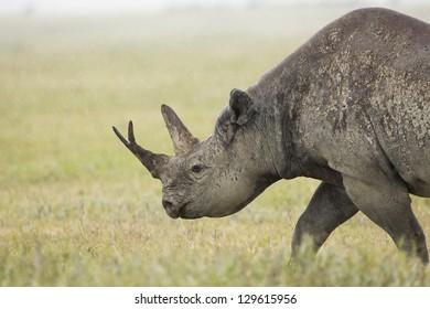 A Black Rhino (Diceros bicornis) walks in the rain at the Ngorongoro Crater in Tanzania