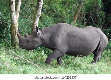 Black rhino eating 03