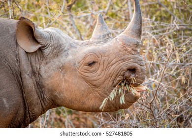 Black rhino eating from a bush in the Kruger National Park, South Africa.