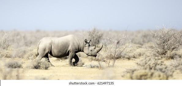Black Rhino in Etosha National Park, Namibia.