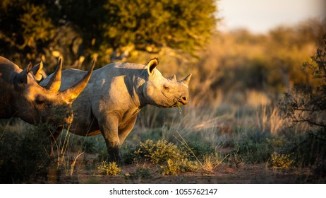 Black rhino feeding at sunset with a big horn
