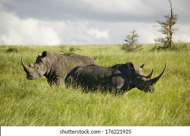 Black Rhino in the green grass of Lewa Wildlife Conservancy, North Kenya, Africa